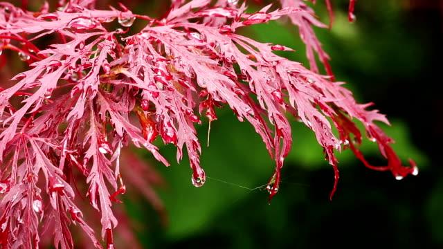 Fächerahorn mit Regentropfen