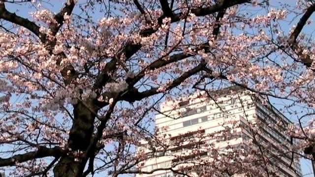 japanese office tower and sakura tree (anamorphic dv) - anamorphic stock videos & royalty-free footage