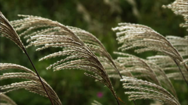 japanese pampas grass gregariousness closeup
