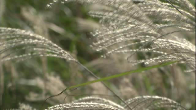 Japanese pampas grass sways in a breeze.