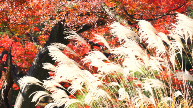 Japanese pampas grasses shake by wind in front of autumn leaves trees in Rikugien Garden (Traditional Japanese Garden) Bunkyo-ku Tokyo on December 03 2017.