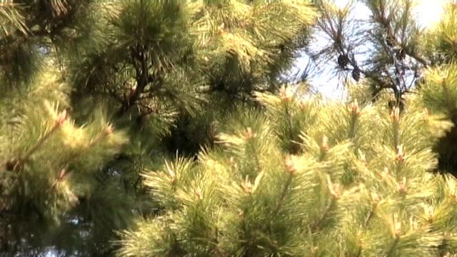 japanese pine close up. anamorphic dv - anamorphic stock videos & royalty-free footage