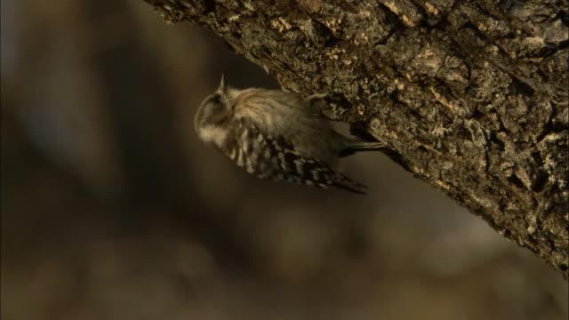 stockvideo's en b-roll-footage met japanese pygmy woodpecker (dendrocopos kizuki) forages on branch, russia - pikken