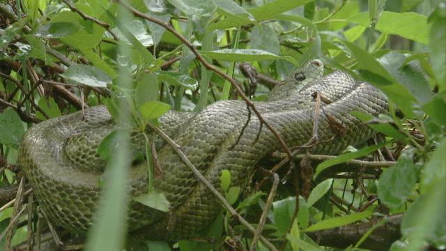 vídeos de stock, filmes e b-roll de japanese rat snake - marrom