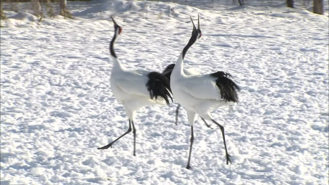 Japanese red-crowned cranes lift their beaks to the sky as they perform a courtship dance.