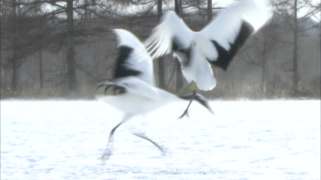 japanese red-crowned cranes perform an elaborate courtship dance. - cinque animali video stock e b–roll