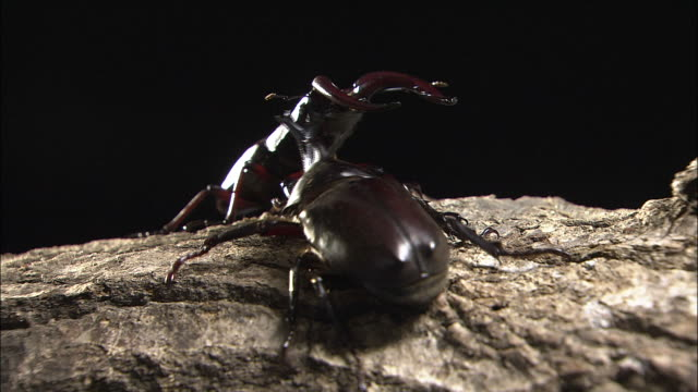 japanese rhinoceros beetle and sawtoothed stag beetle - 攻撃的点の映像素材/bロール