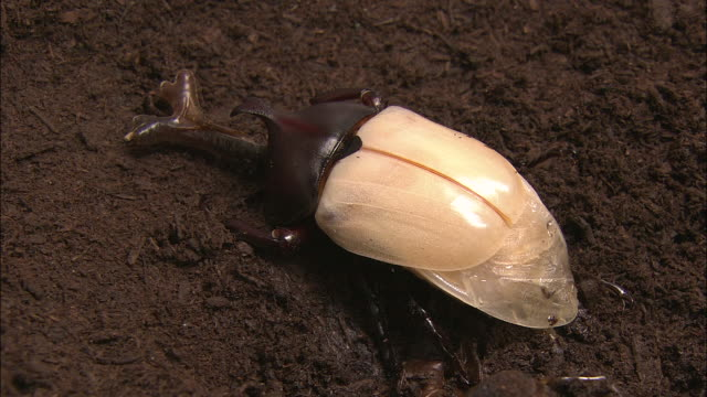 Japanese Rhinoceros Beetle Emerges
