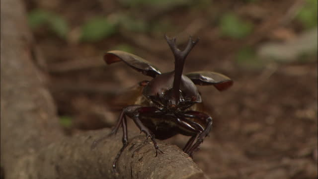 Japanese Rhinoceros Beetle Flying