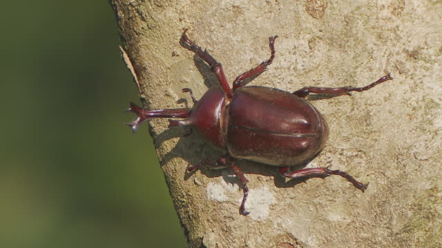 A Japanese rhinoceros beetle moves along a tree trunk.