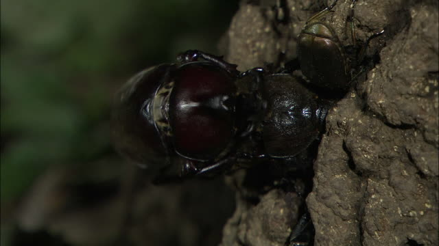 Japanese Rhinoceros Beetles Mating
