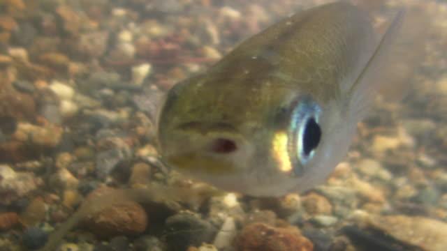 japanese rice fish feeding - freshwater stock videos & royalty-free footage