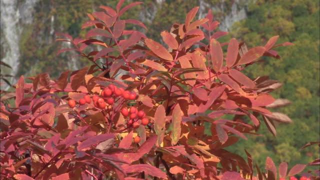 Japanese rowan (Sorbus commixta)