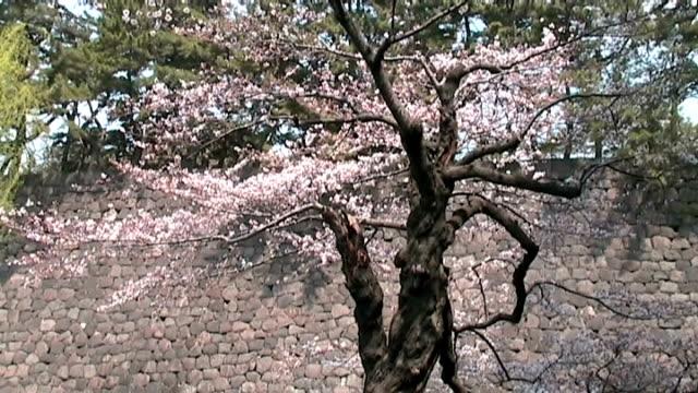 vídeos y material grabado en eventos de stock de castillo de imperial japonesa sakura y detalles - árbol de hoja caduca