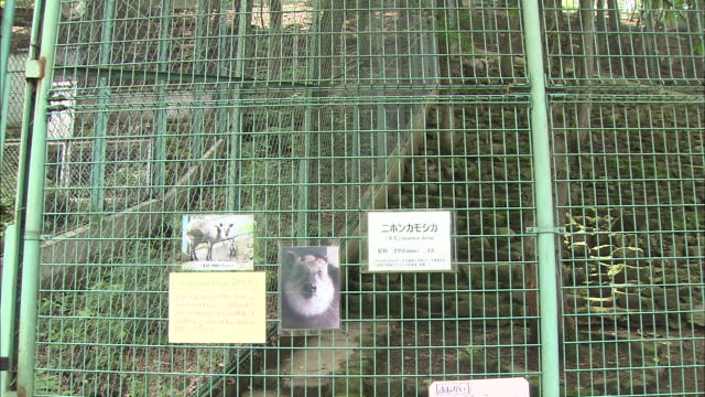A Japanese serow stands chewing in a zoo enclosure.