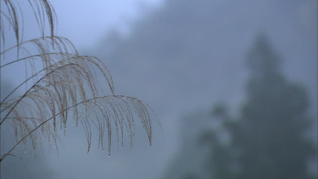 Japanese Silver Grass Moist With The Morning Dew