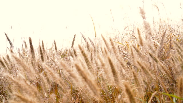 japanese silver grass swaying in the wind - ondeggiare video stock e b–roll
