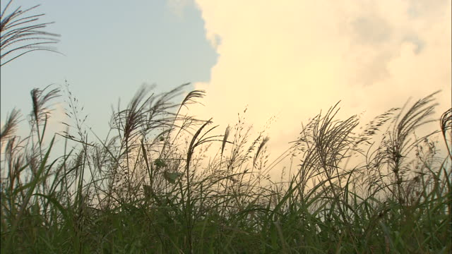 japanese silver grass sways against a cloudy sky. - furzen stock-videos und b-roll-filmmaterial