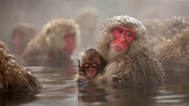 japanische snow monkey winter hot spring - quellwasser stock-videos und b-roll-filmmaterial