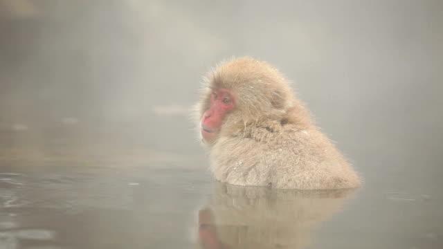 Japanische Snow Monkey Winter Hot Spring