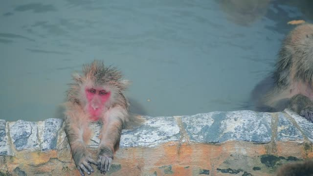 Japanese snow monkeys bathing in hot spring