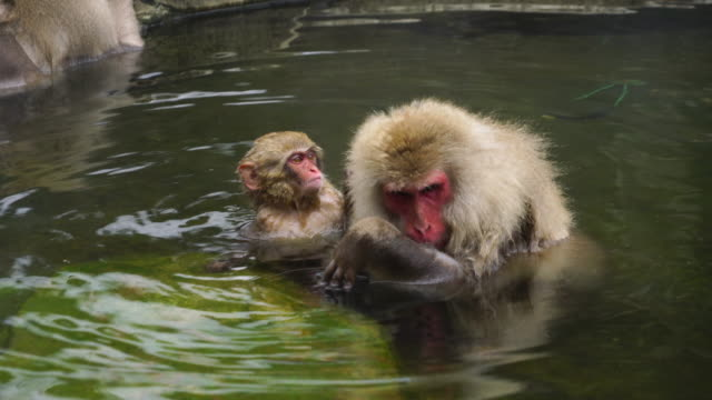 japanese snow monkeys relaxing and bathing in the hot spring among the snowy mountain in jigokudani snow monkey park (jigokudani-yaenkoen) at nagano japan on feb. 20 2019. - insel honshu stock-videos und b-roll-filmmaterial