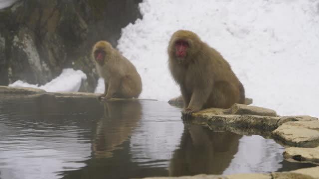 japanese snow monkeys stay at edge of hot spring bathtub and drink hot spring among the snowy mountain in jigokudani snow monkey park (jigokudani-yaenkoen) at nagano japan on feb. 19 2019. - insel honshu stock-videos und b-roll-filmmaterial