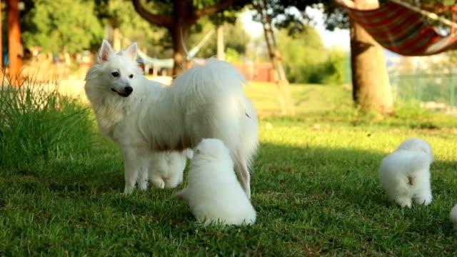 vídeos de stock e filmes b-roll de japanese spitz family- mother and puppies - grupo médio de animais