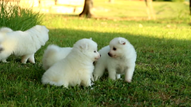 japanese spitz family- mother and puppies - young animal stock videos & royalty-free footage