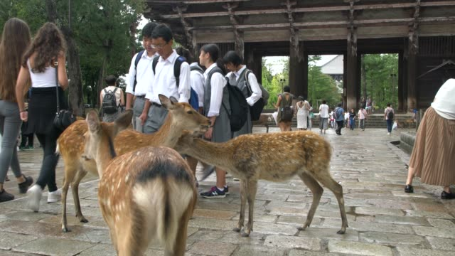 Japanese Students Playing With The Deer Walking In Front Of Todai-Ji Temple In Nara, Japan