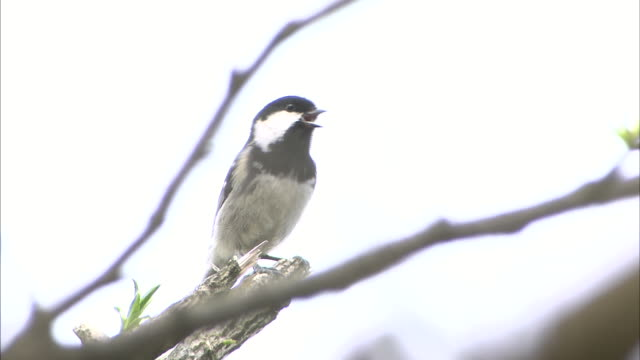 a japanese tit sings on a tree branch. - songbird stock videos & royalty-free footage