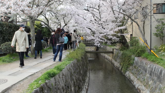 vídeos de stock e filmes b-roll de japanese tourists enjoying the cherry blossom in kyoto, japan - prunus taihaku