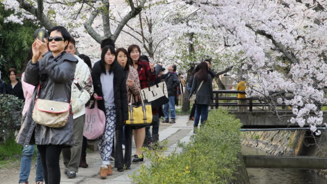 japanese tourists enjoying the cherry blossom in kyoto, japan - great white cherry stock videos & royalty-free footage