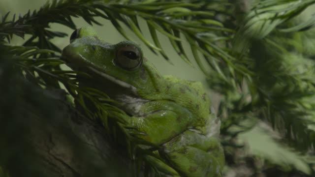 japanese tree frog croaks on branch, japan. - takashima shiga stock videos & royalty-free footage