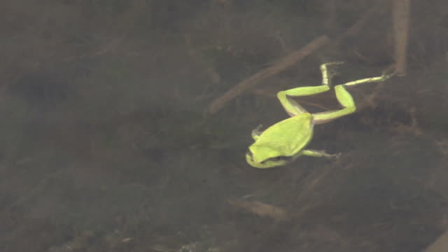 japanese tree frogs at water-laden paddy - 水田点の映像素材/bロール