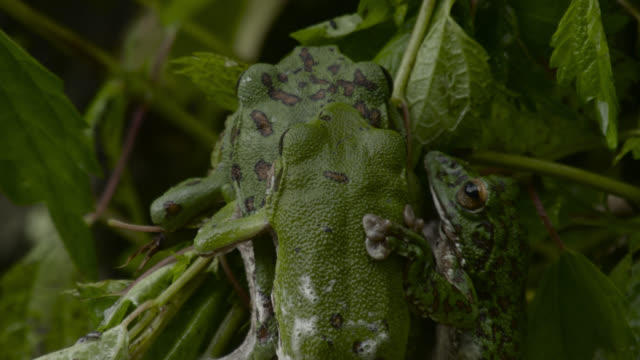 japanese tree frogs make foam nest, japan. - male animal stock videos & royalty-free footage