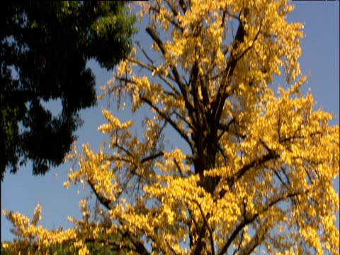 stockvideo's en b-roll-footage met japanese trees with golden coloured foliage against blue sky tilt down to shinto shrine - plant attribute