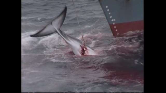 japanese whalers have suspended their antarctic hunt citing harassment by environmentalists and are considering ending their annual mission early a... - valfångst bildbanksvideor och videomaterial från bakom kulisserna