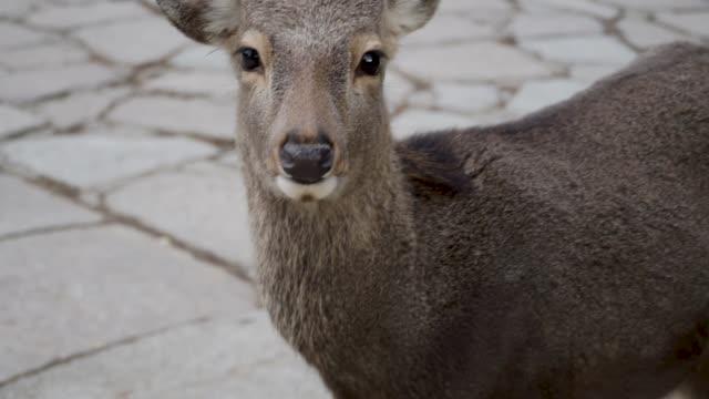 japanese wild deer - slow motion - japan stock videos & royalty-free footage