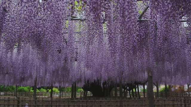 japanese wisteria at tamashiki park - 10 seconds or greater stock videos & royalty-free footage