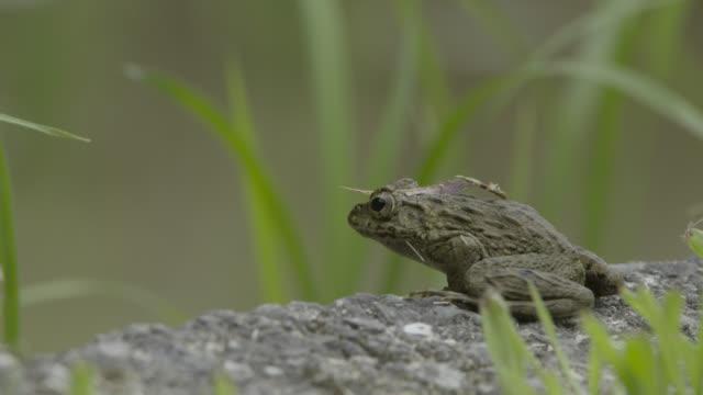 japanese wrinkled frog, japan. - takashima shiga stock videos & royalty-free footage