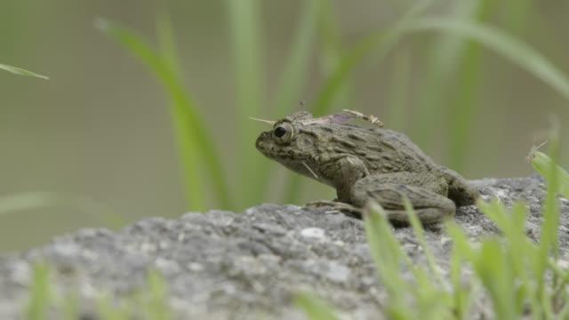 japanese wrinkled frog jumps from ledge, japan. - takashima shiga stock videos & royalty-free footage