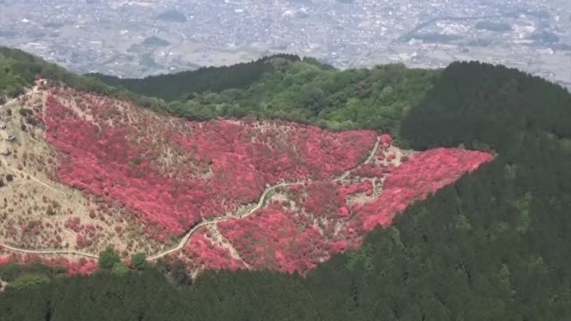 movie taken from a kyodo news helicopter on may 13 shows azalea flowers painting mt katsuragi red the 959meter mountain straddles the border between... - heather stock videos & royalty-free footage