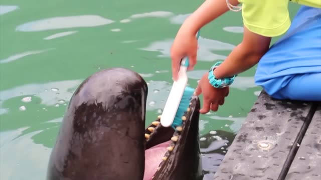 stockvideo's en b-roll-footage met whales have their teeth brushed during a show at the taiji whale museum in the wakayama prefecture town in western japan on may 31 2019 - cetacea