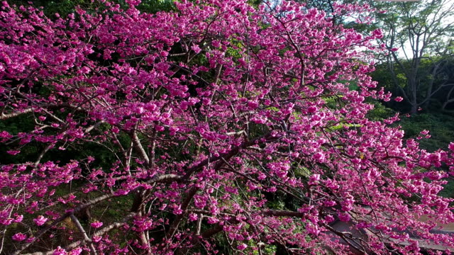japan's fastest cherry blossom - okinawa prefecture stock videos & royalty-free footage