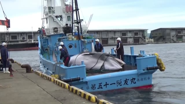 japan's fisheries agency said monday it will start seasonal hunting of minke whales off eastern hokkaido in northern japan from monday through late... - valfångst bildbanksvideor och videomaterial från bakom kulisserna