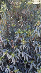 Jara plant