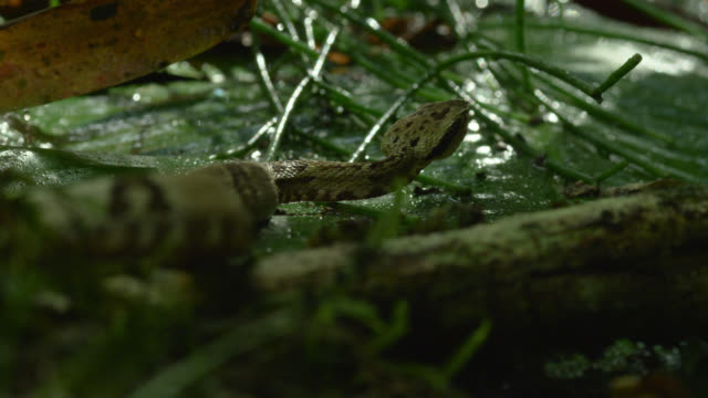 Jararaca snake (Bothrops jararaca) slithers through undergrowth.