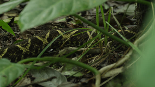 Jararacussu (Bothrops jararacussu) slithers across forest floor.