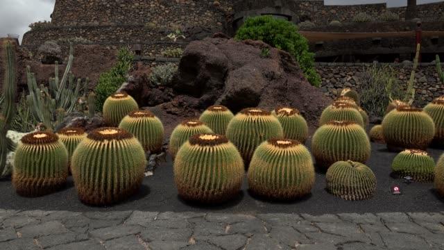 jardin de cactus (cactus garden) in guatiza, lanzarote, canary islands, spain, atlantic, europe - barrel cactus stock videos and b-roll footage